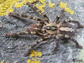 Poecilotheria ornata L2/3 (2,5cm)