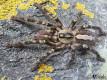 Poecilotheria ornata L2/3 (2cm)