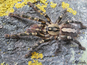 Poecilotheria ornata L1 (2cm) x5