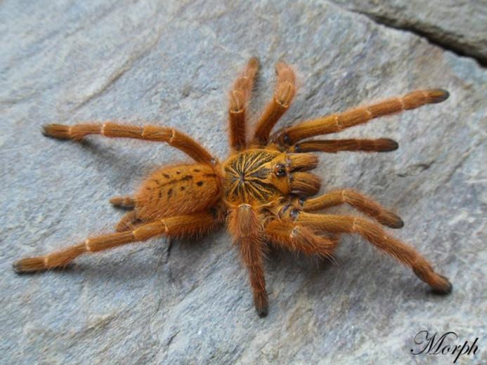 Pterinochilus murinus 'usambara' L2 (1cm)