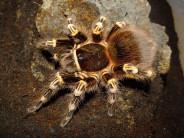 Acanthoscurria geniculata L3 (1cm) x10