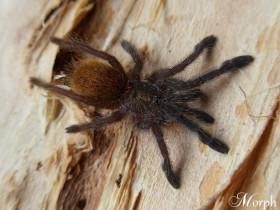 Pterinochilus murinus L3 (2cm)