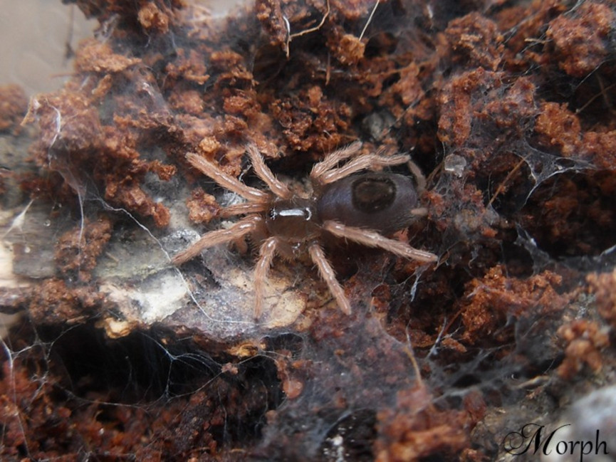 Kochiana brunnipes L1 (0,5cm)