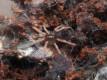 Kochiana brunnipes L6/7 (2cm)