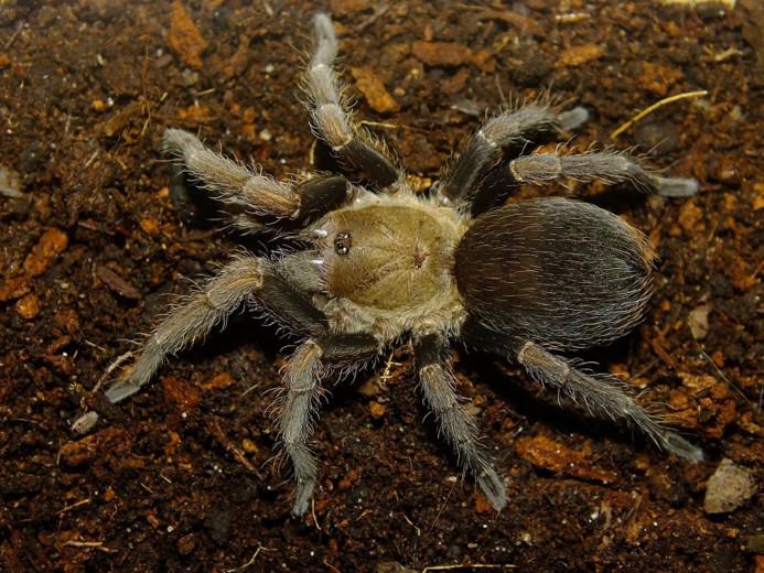 Cyclosternum schmardae L1 (0,5cm)