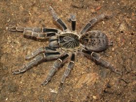 Pterinochilus sp.Tansania (Arusha) L1 (1cm)