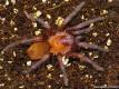 Citharacanthus cyaneus L5 (2cm)