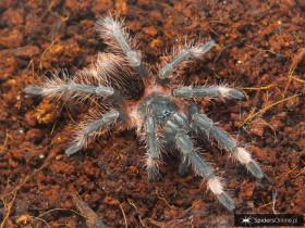 Sericopelma sp. Boquete L1 (2cm)