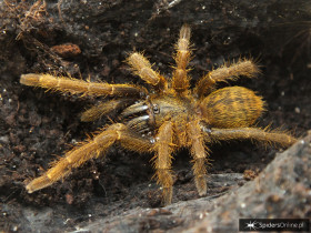 Haplopelma hainanum L2/3 (2,5cm)