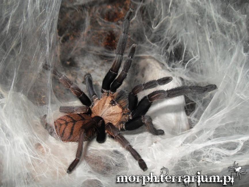 Chilobrachys fimbriatus L2 (1cm)