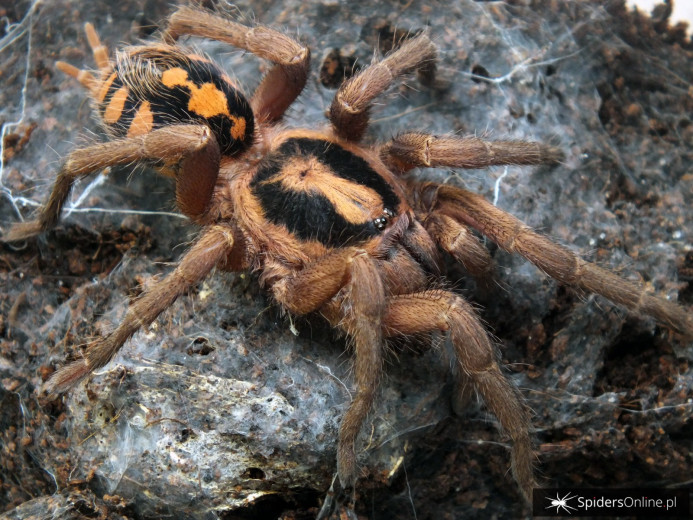 Hapalopus sp. Colombia 'gross' L1 (0,5cm)