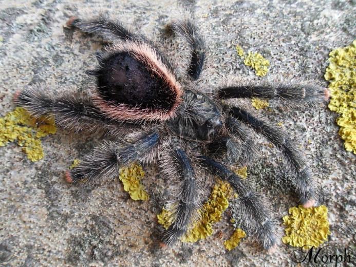 Avicularia sp. Peru 'purple' L1 (1cm)