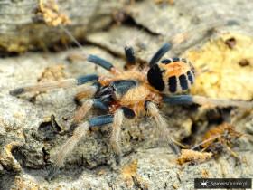 Cyriocosmus bicolor ♀ 1,5-2DC (2,5cm)