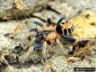 Cyriocosmus bicolor L2 (1cm)