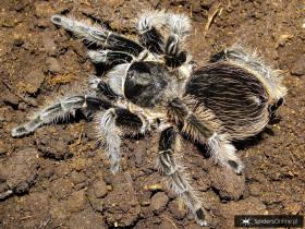 Tliltocatl albopilosus ♀ 2,5DC (4,5cm)