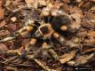 Brachypelma smithi ♀ 4DC (6cm)