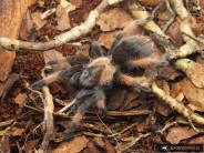 Brachypelma emilia L2 (1cm)