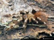 Nhandu chromatus ♀+♂ PAIR 2DC (3,5cm)