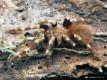 Nhandu chromatus ♀ 3DC (5cm)