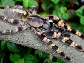 Poecilotheria tigrinawesseli L5 (3,5cm)