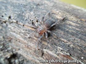 Pterinopelma sazimai L3/4 (1,5cm)