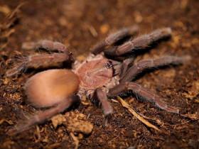 Orphnaecus sp. Cebu small L2/3 (1cm)