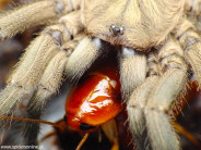Chaetopelma olivaceum L2 (2cm)