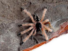 Pseudoclamoris gigas L3 (2cm)