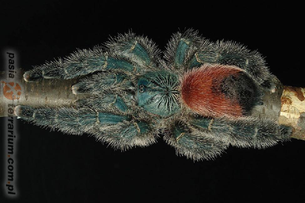 Avicularia sp. Amazonica Manaus L1 (1,5cm)