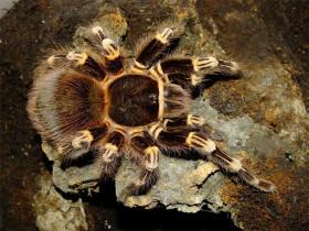 Acanthoscurria geniculata - adult female