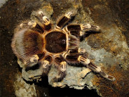 Acanthoscurria geniculata L1/2 (1cm)