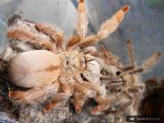 Psalmopoeus pulcher L1/2 (1,5cm)