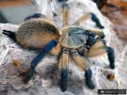 Monocentropus balfouri L3 (1cm)