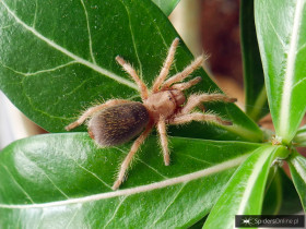 Grammostola rosea L4/5 (2cm)