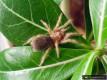 Grammostola rosea 'classic' L4 (2-2,5cm)