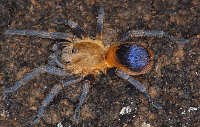 Pseudhapalopus sp. Colombia L2 (1cm)