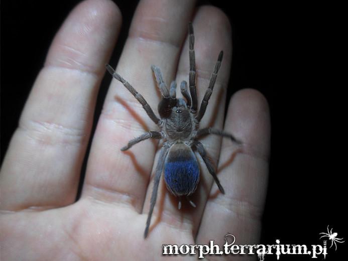Pseudhapalopus sp. blue L1/2 (0,5cm)