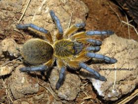 Harpactira pulchripes L2 (1,5cm)
