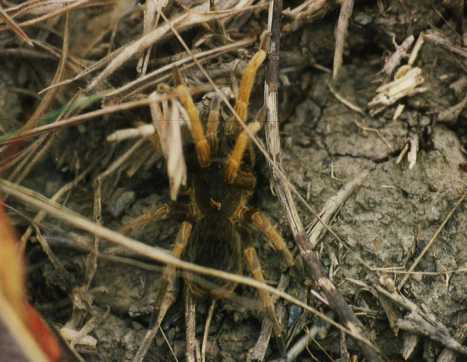 Pseudhapalopus spinopalpus L2 (1cm)